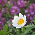 咲きました綺麗な白い花