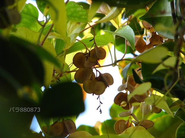 ヤマノイモの果実(2)
