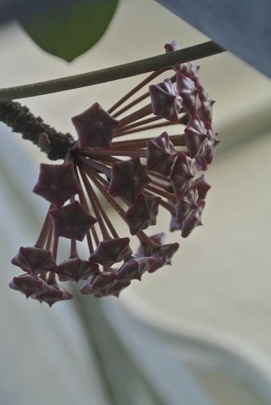 幾何学模様のサクラランの種