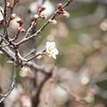 Photos: 25.3.19榴ヶ岡天満宮の梅