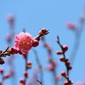 Photos: 25.3.23鹽竈神社の梅