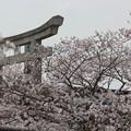 Photos: 25.4.20日和山公園の桜
