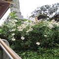 25.10.27鹽竈神社楼門前の浜菊