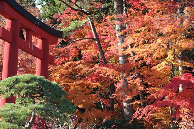 Photos: 25.11.22志波彦神社鳥居付近の紅葉