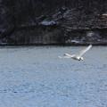 26.1.13加瀬沼の野鳥(その1)