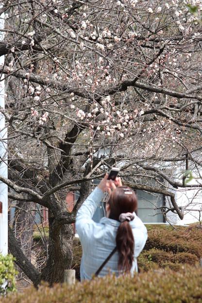 26.3.29榴岡公園の梅