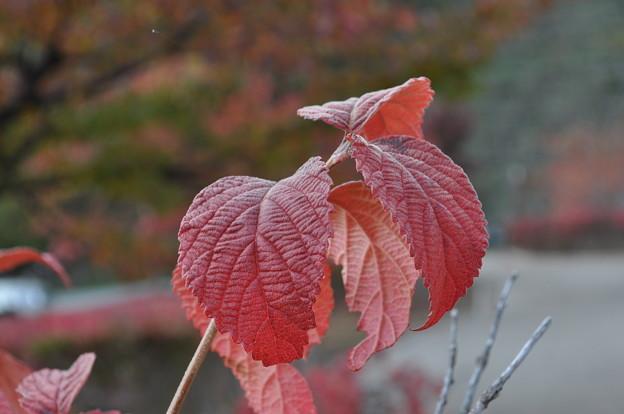 Photos: 赤い葉っぱ