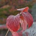 赤い葉っぱ