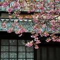 写真: 河津桜の原木