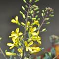 Photos: ハボタンの花