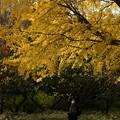 Photos: ♪大きな銀杏の木の下で~~♪