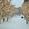 Photos: 雪のロウバイ小路