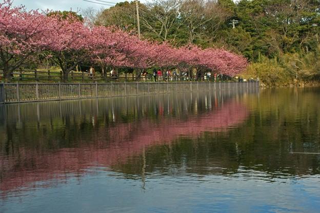 写真: 河津桜の池