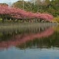 河津桜の池