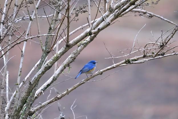 Photos: 2度目の青い鳥