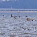 巴鴨の群れ