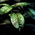 写真: ダーク葉っぱライジング